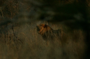 jericho the lion